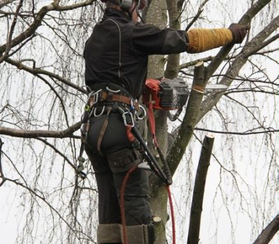 silver birch removal 0a